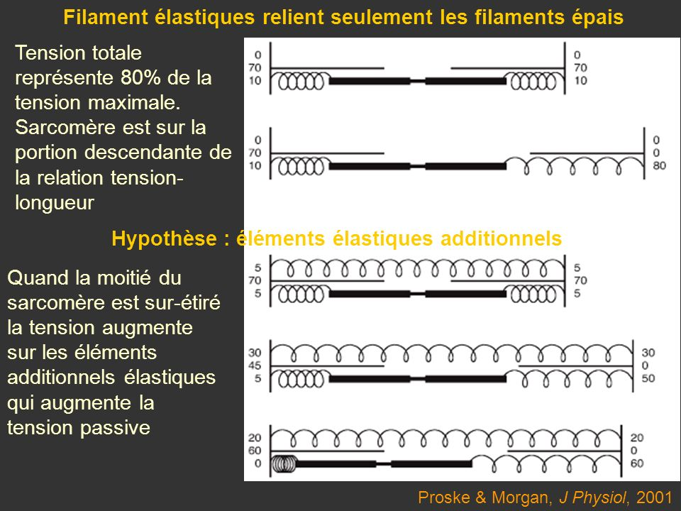 Filament élastiques relient seulement les filaments épais