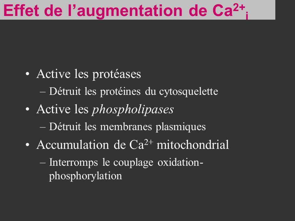 Effet de l'augmentation de Ca2+i