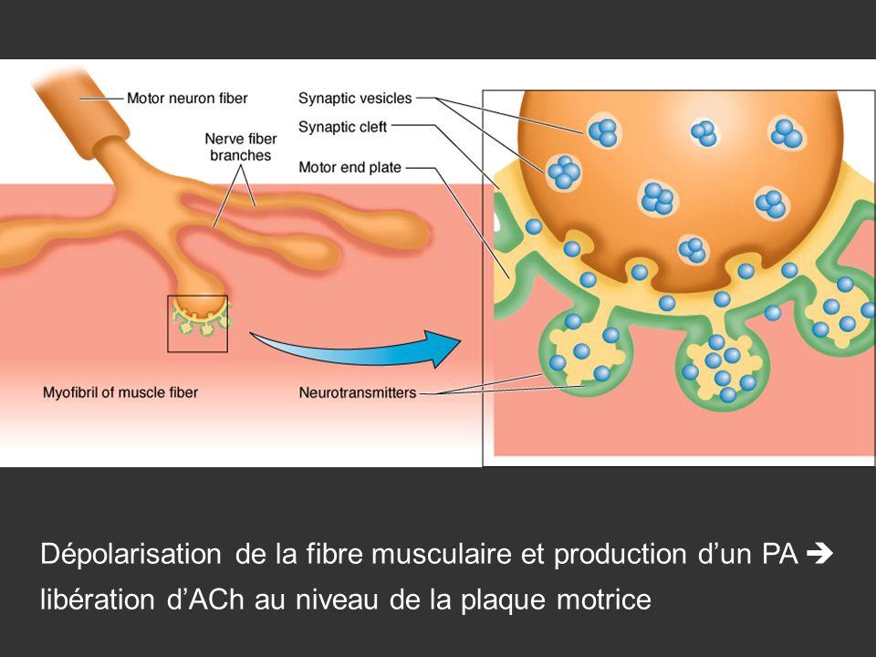 Dépolarisation de la fibre musculaire et production d'un PA  libération d'ACh au niveau de la plaque motrice