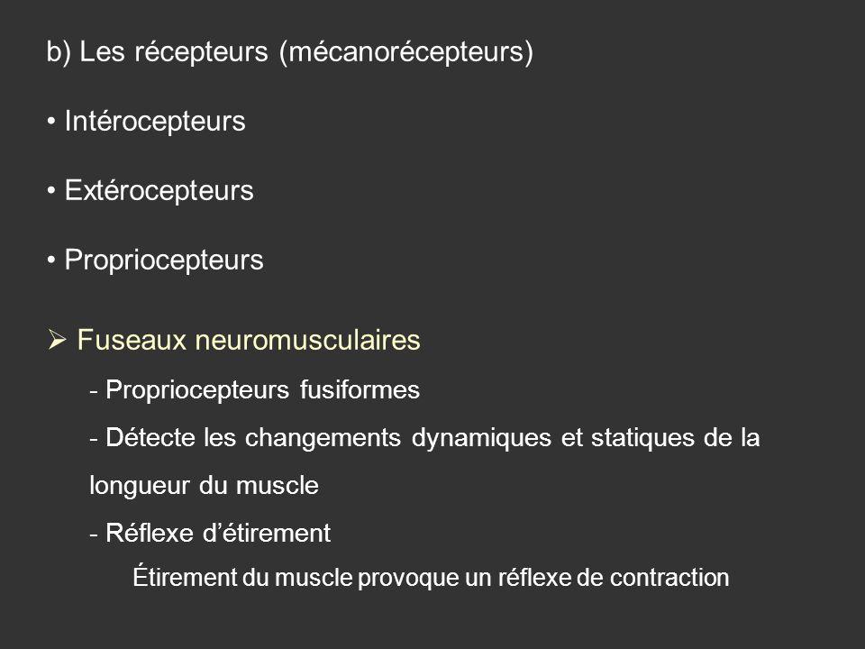 b) Les récepteurs (mécanorécepteurs) Intérocepteurs Extérocepteurs