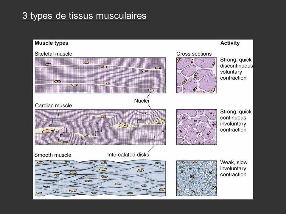 3 types de tissus musculaires