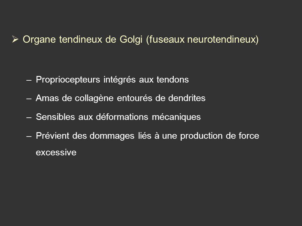 Organe tendineux de Golgi (fuseaux neurotendineux)