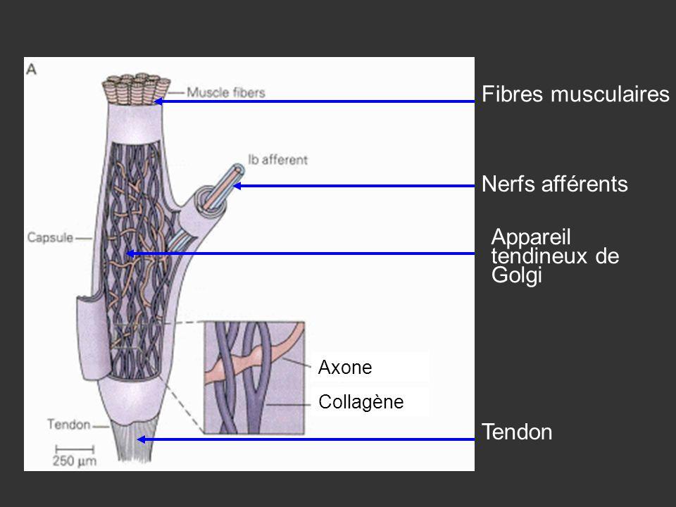 Appareil tendineux de Golgi