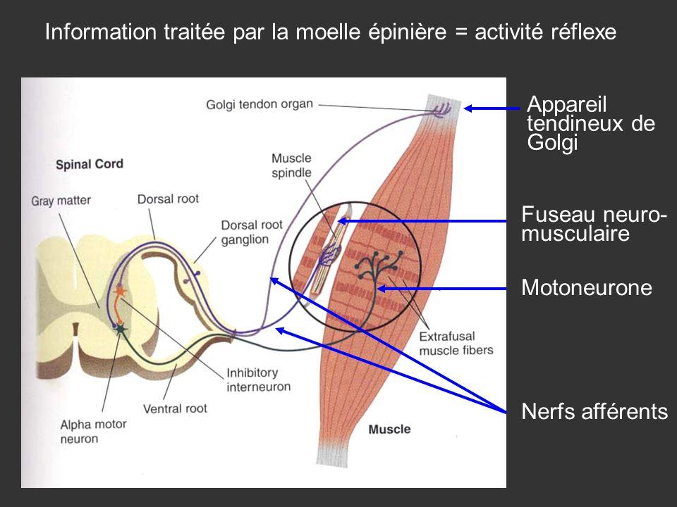 Information traitée par la moelle épinière = activité réflexe