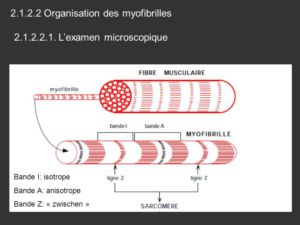2.1.2.2 Organisation des myofibrilles