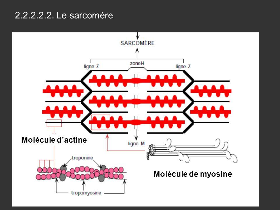2.2.2.2.2. Le sarcomère Molécule d'actine Molécule de myosine