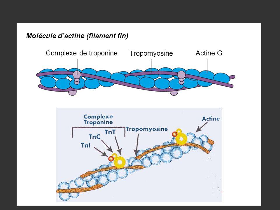 Molécule d'actine (filament fin)