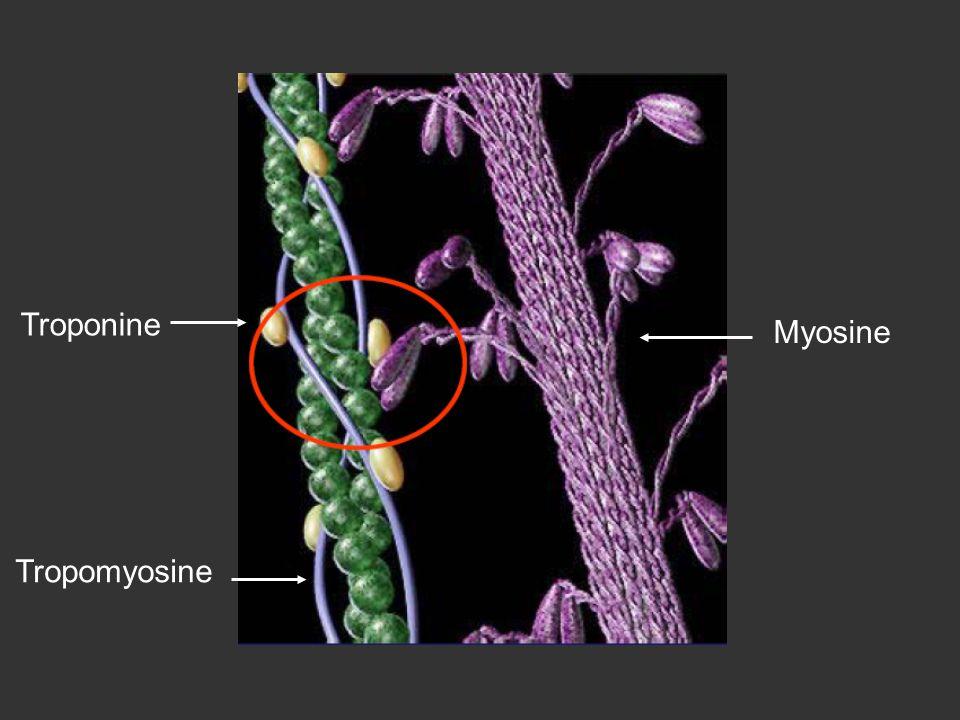 Troponine Myosine Tropomyosine