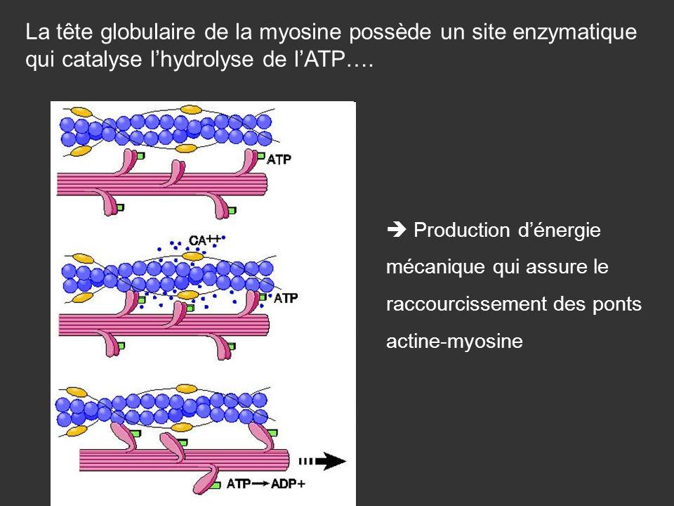 La tête globulaire de la myosine possède un site enzymatique qui catalyse l'hydrolyse de l'ATP….