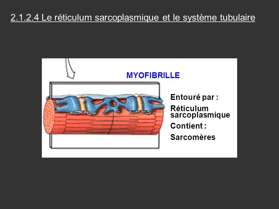 2.1.2.4 Le réticulum sarcoplasmique et le système tubulaire