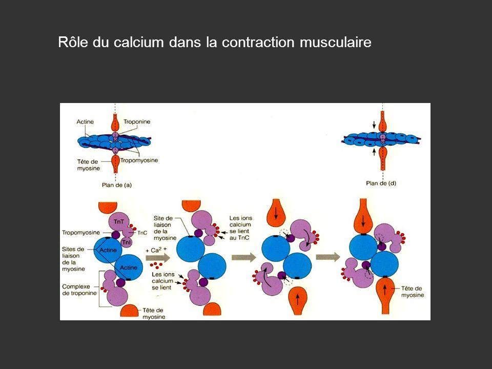 Rôle du calcium dans la contraction musculaire