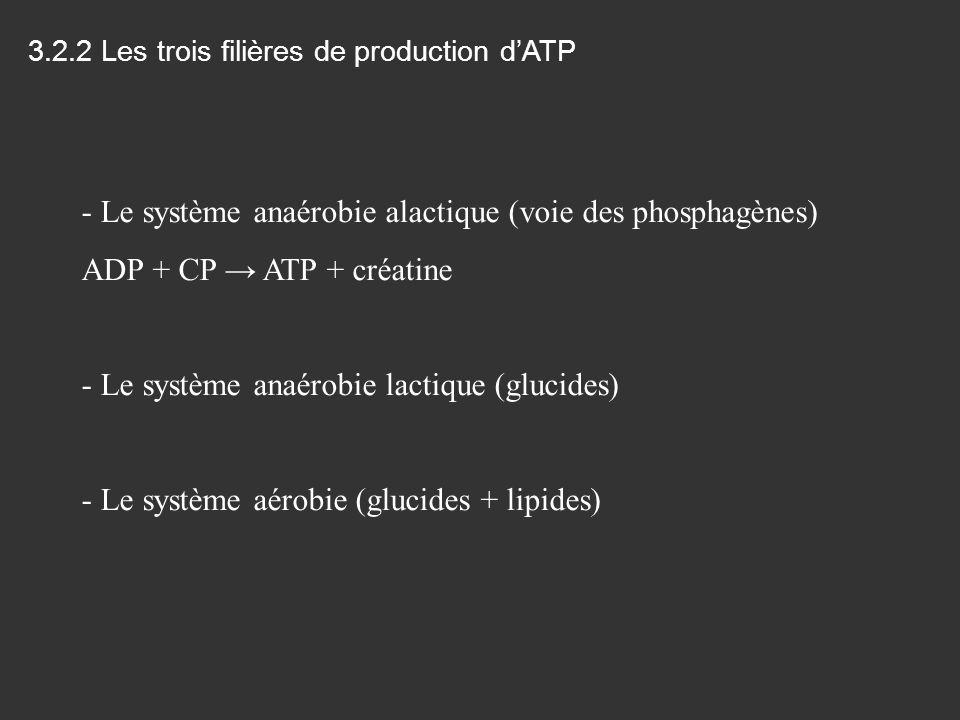 Le système anaérobie alactique (voie des phosphagènes)
