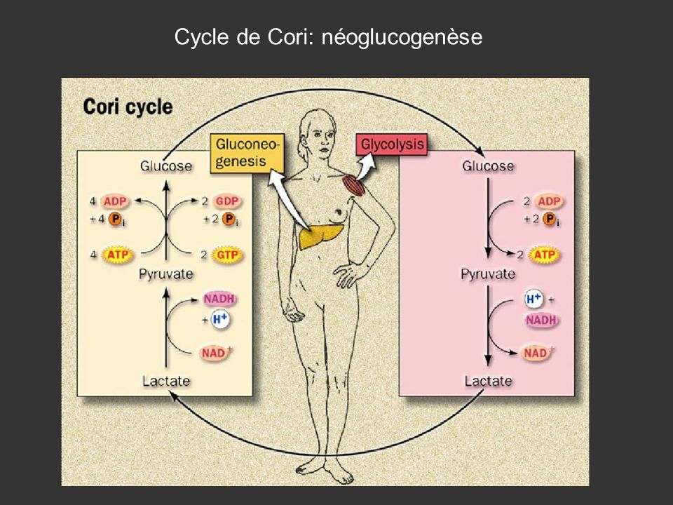 Cycle de Cori: néoglucogenèse