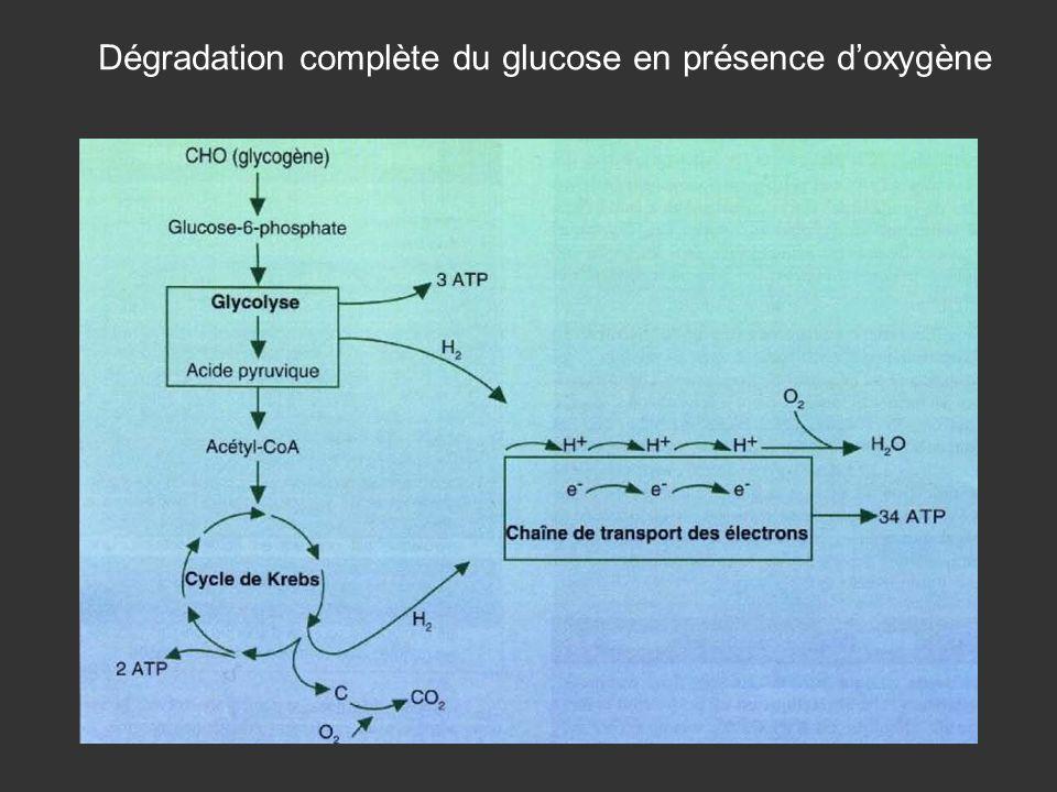Dégradation complète du glucose en présence d'oxygène