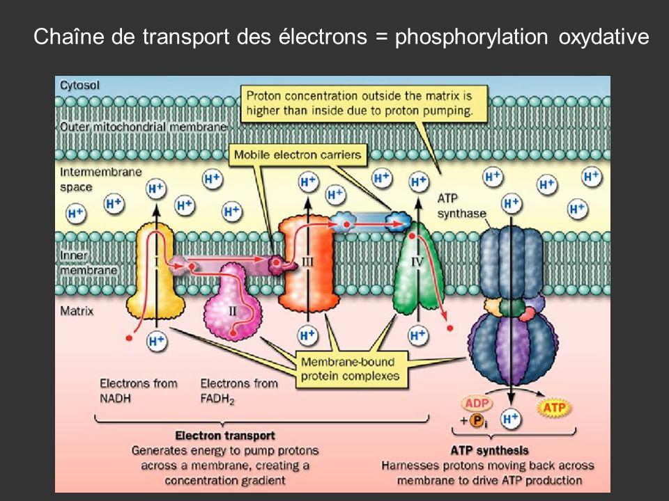 Chaîne de transport des électrons = phosphorylation oxydative