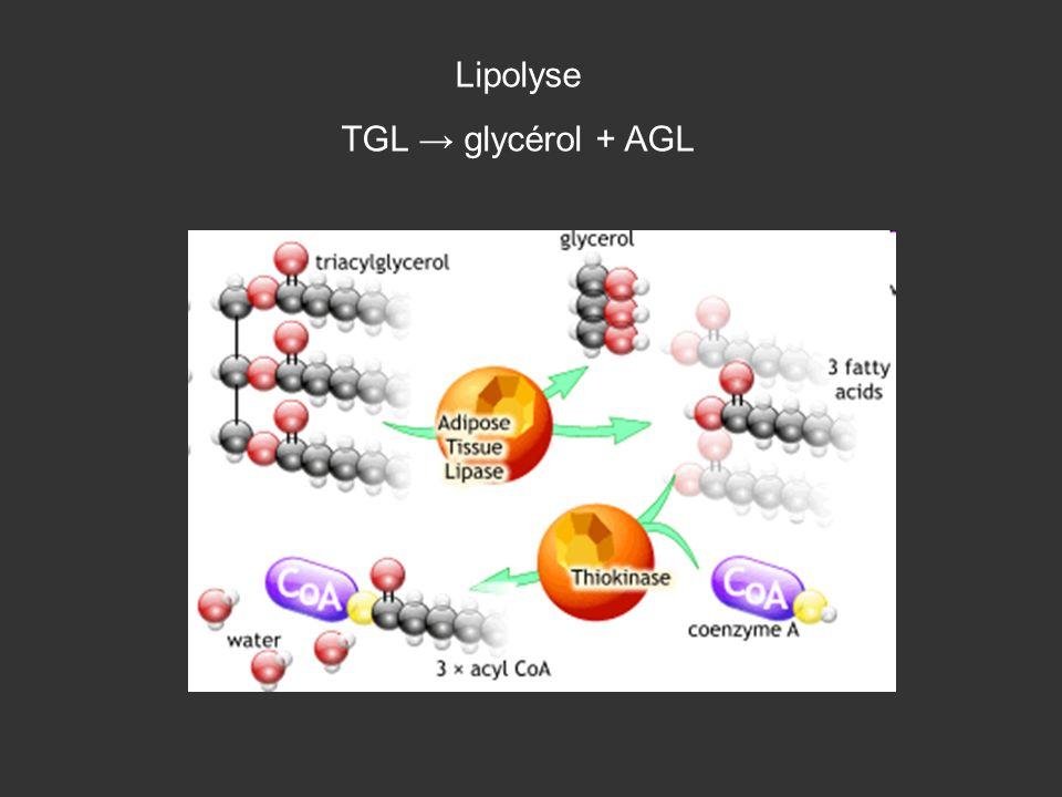 Lipolyse TGL → glycérol + AGL