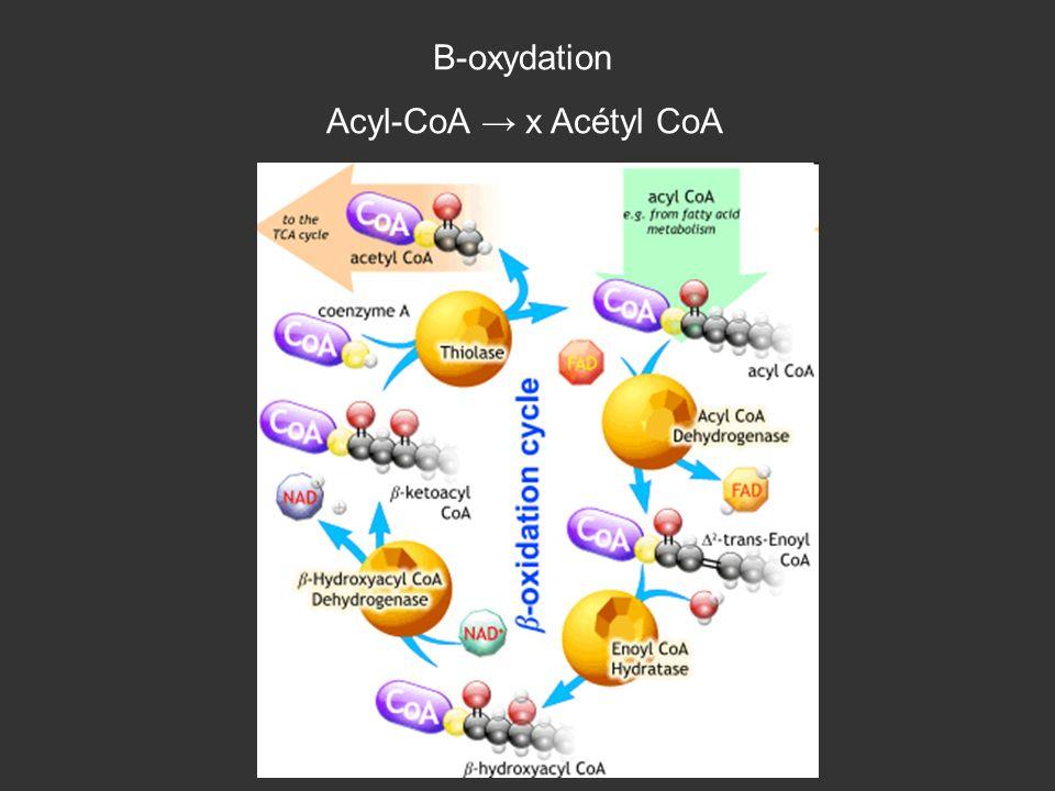 Β-oxydation Acyl-CoA → x Acétyl CoA