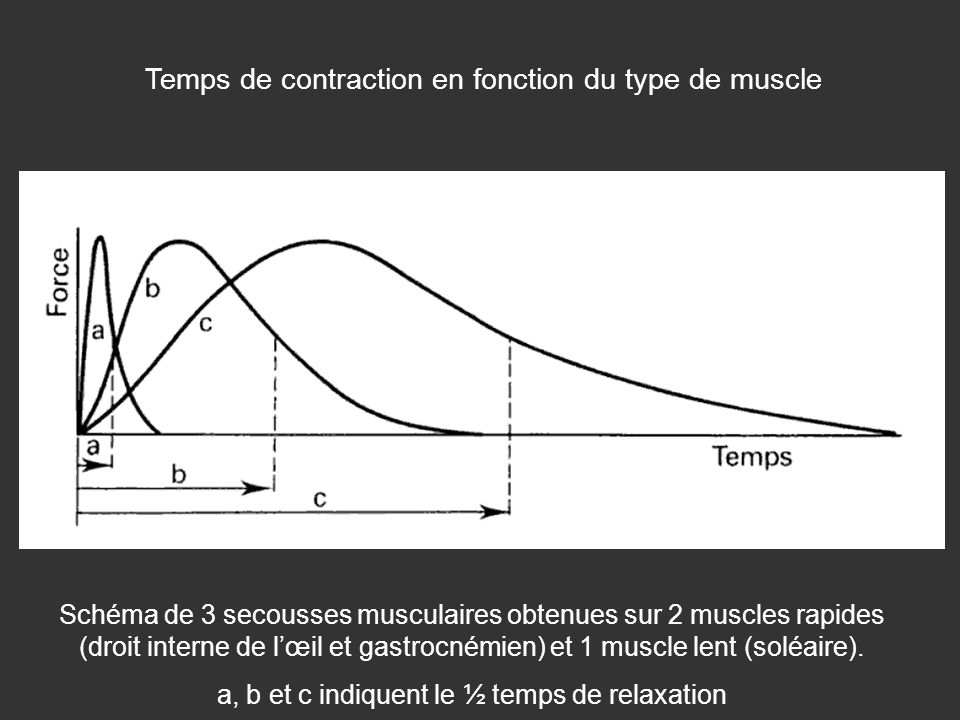 Temps de contraction en fonction du type de muscle