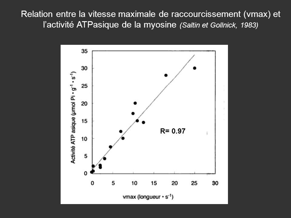 Relation entre la vitesse maximale de raccourcissement (vmax) et l'activité ATPasique de la myosine (Saltin et Gollnick, 1983)