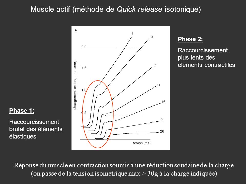 Muscle actif (méthode de Quick release isotonique)