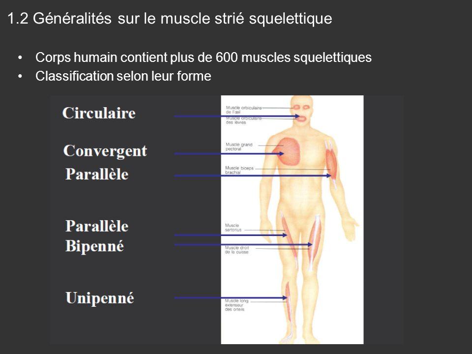 1.2 Généralités sur le muscle strié squelettique