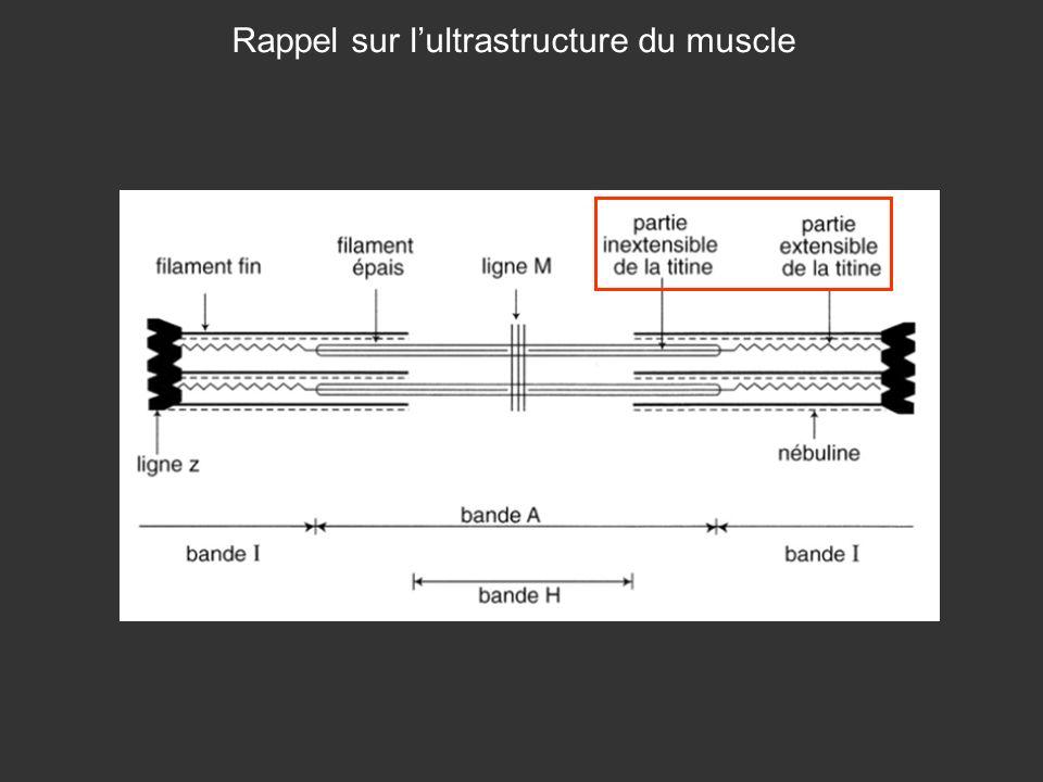 Rappel sur l'ultrastructure du muscle