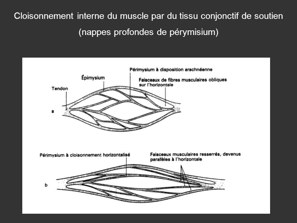 Cloisonnement interne du muscle par du tissu conjonctif de soutien