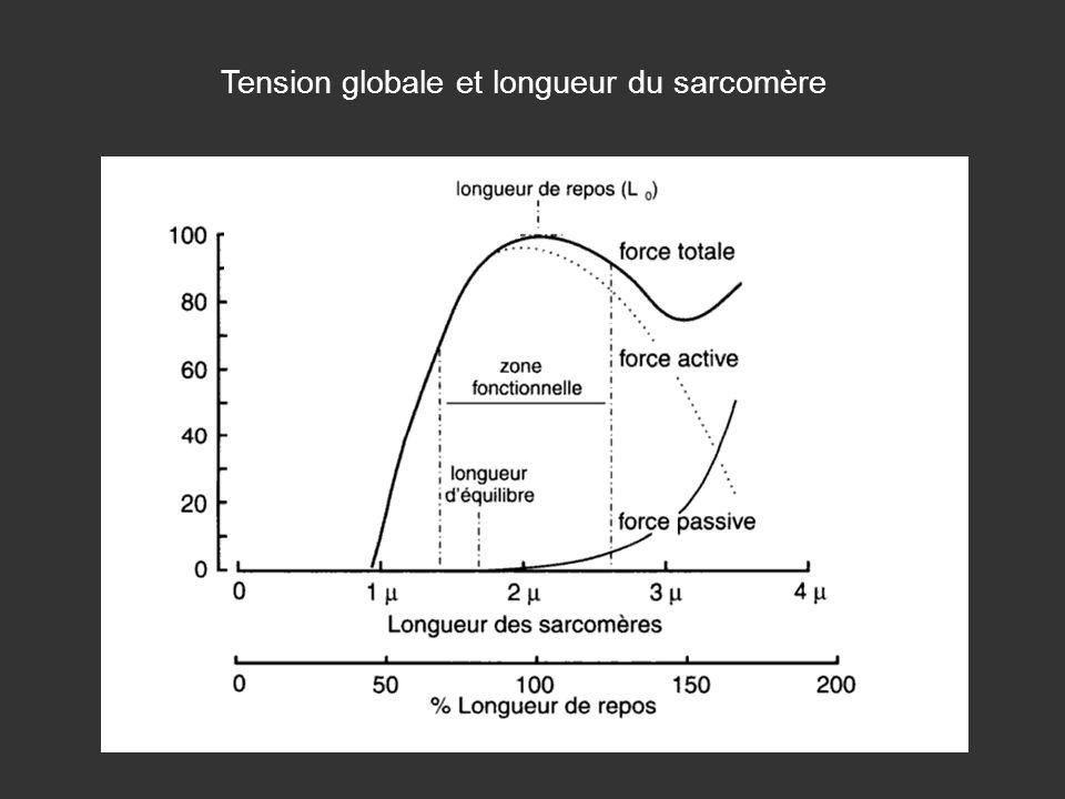 Tension globale et longueur du sarcomère