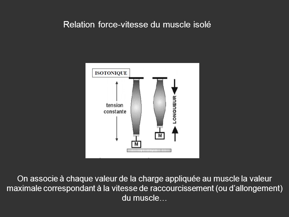Relation force-vitesse du muscle isolé