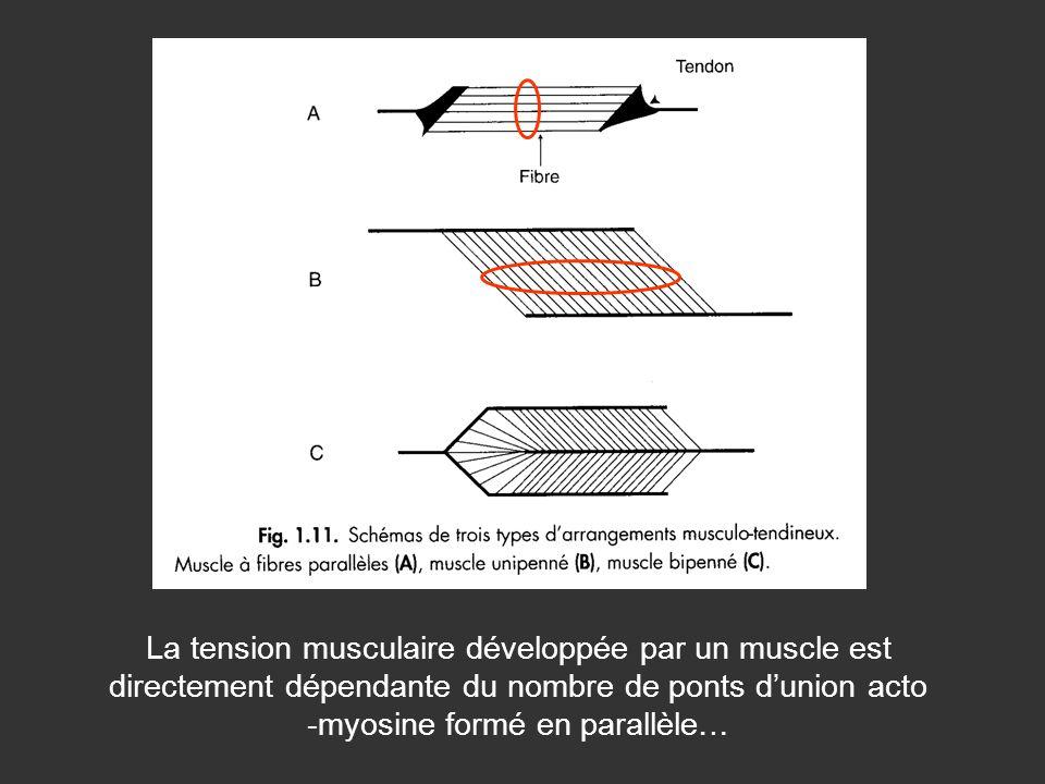 La tension musculaire développée par un muscle est directement dépendante du nombre de ponts d'union acto -myosine formé en parallèle…