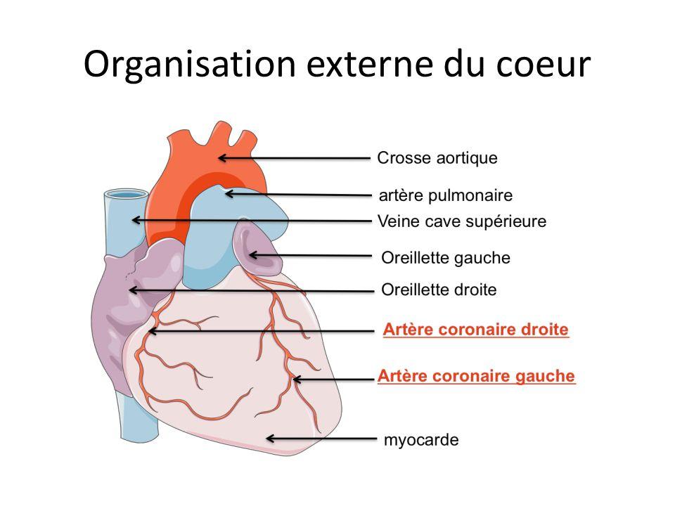 Organisation externe du coeur