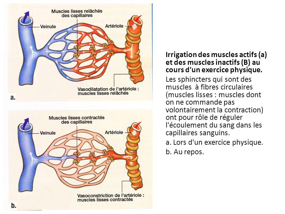 Irrigation des muscles actifs (a) et des muscles inactifs (B) au cours d un exercice physique.