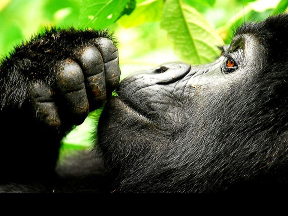 Gorille de montagne en Uganda