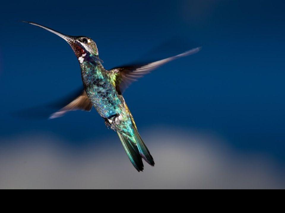 Oiseau-mouche en plein vol