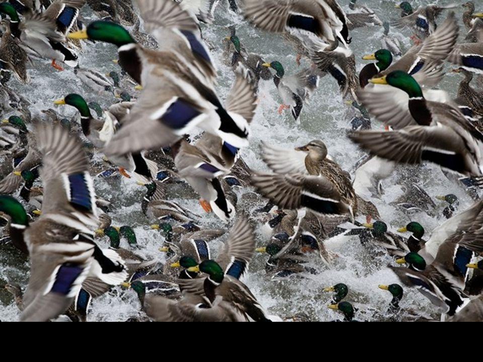 Canards près de Collingwood, Ontario