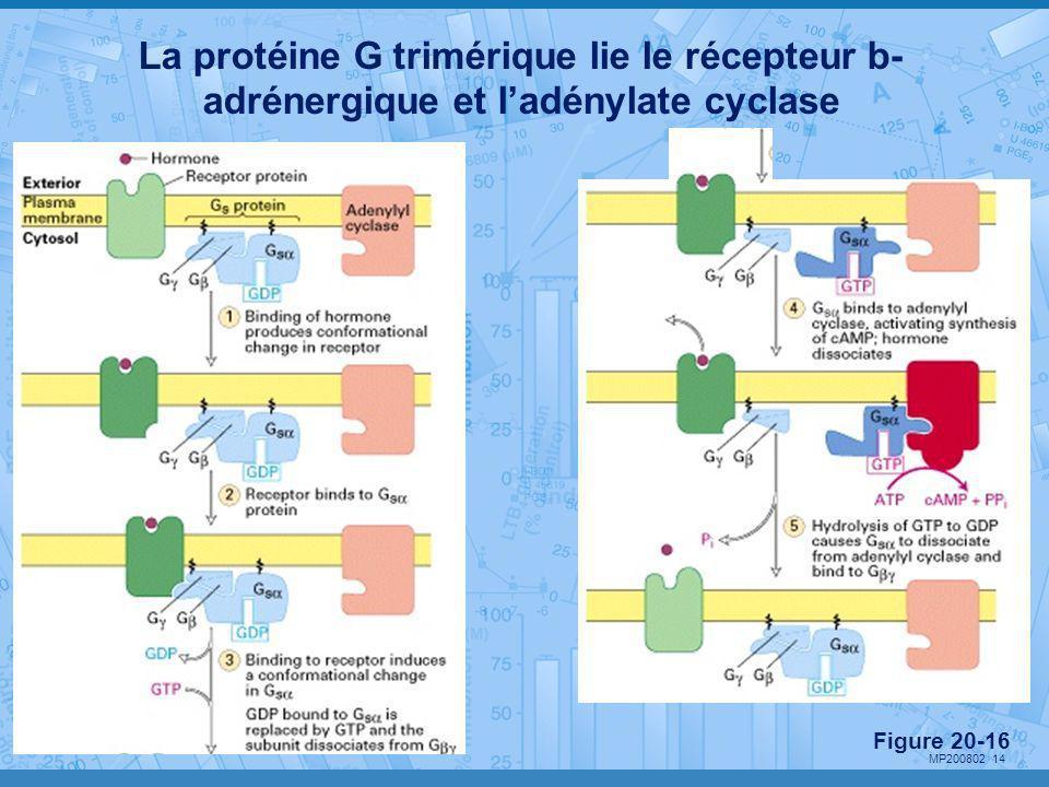 La protéine G trimérique lie le récepteur b-adrénergique et l'adénylate cyclase
