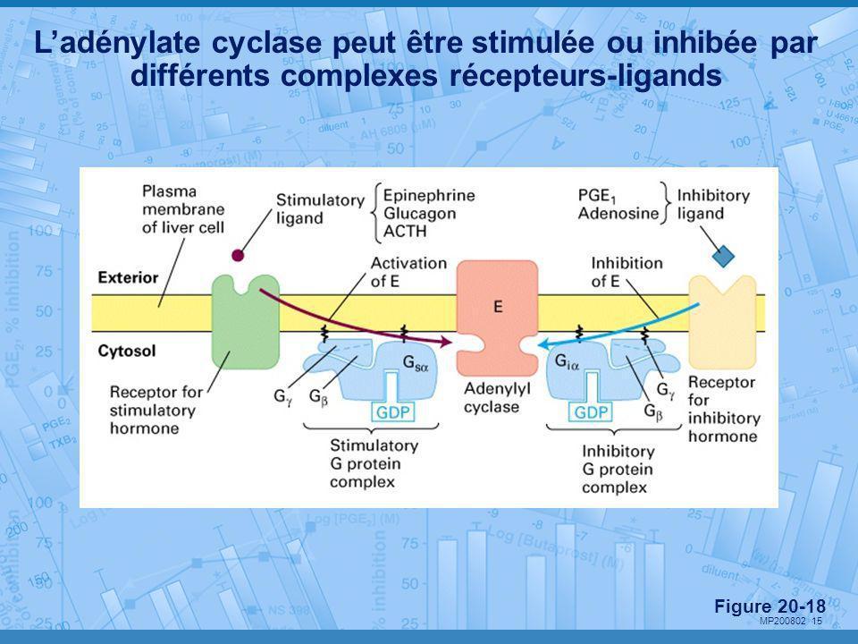 L'adénylate cyclase peut être stimulée ou inhibée par différents complexes récepteurs-ligands