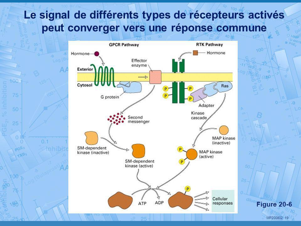 Le signal de différents types de récepteurs activés peut converger vers une réponse commune