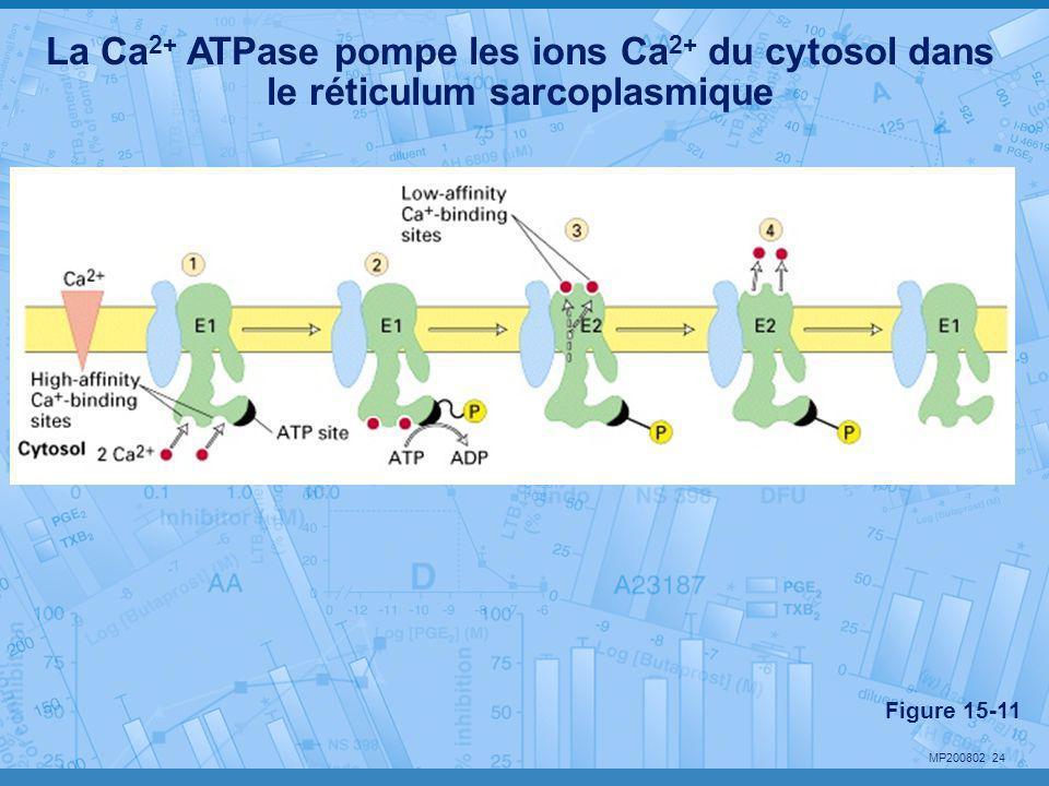 La Ca2+ ATPase pompe les ions Ca2+ du cytosol dans le réticulum sarcoplasmique