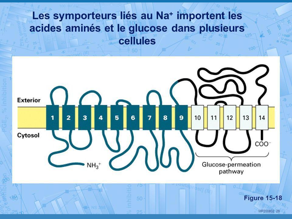 Les symporteurs liés au Na+ importent les acides aminés et le glucose dans plusieurs cellules