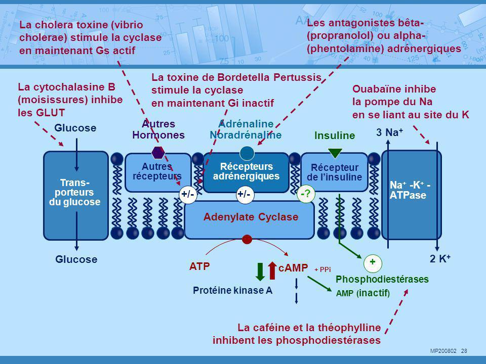 La cytochalasine B (moisissures) inhibe les GLUT