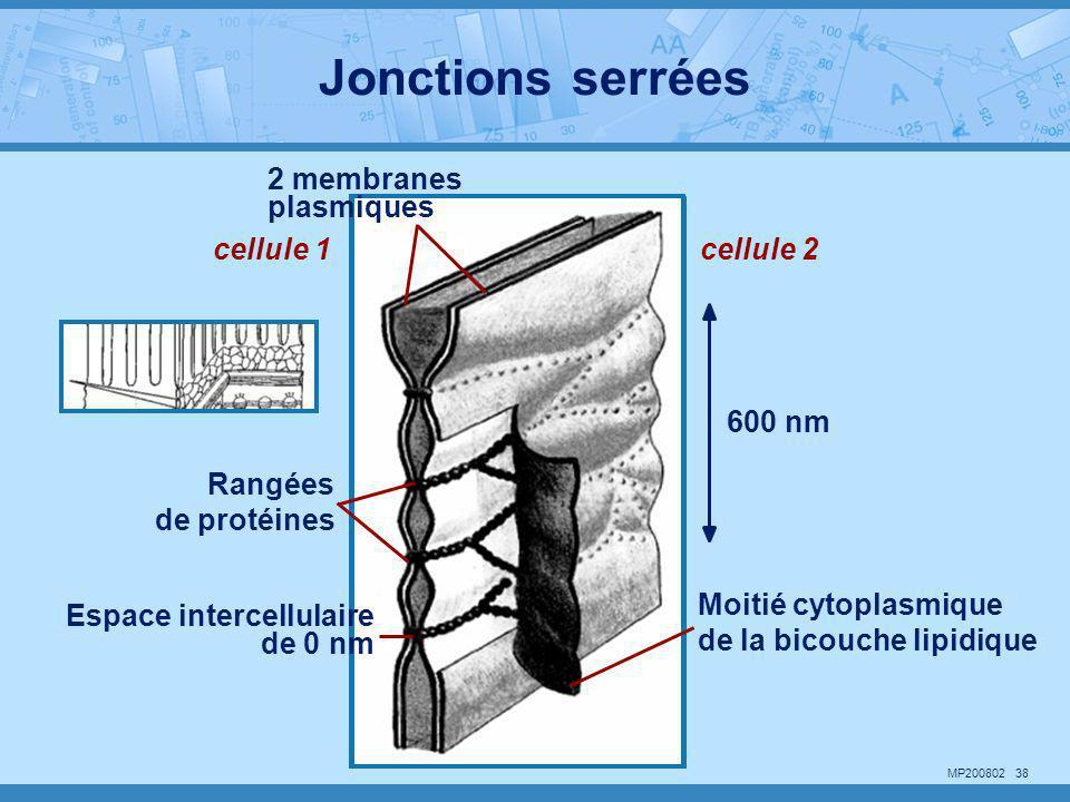 Jonctions serrées 2 membranes plasmiques cellule 1 cellule 2 600 nm