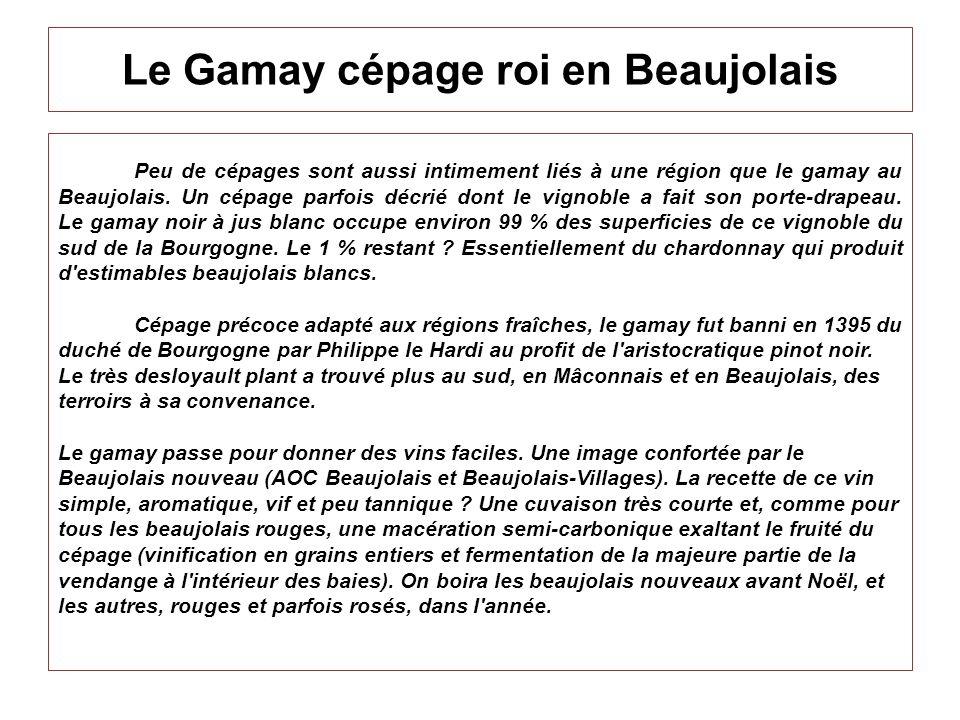 Le Gamay cépage roi en Beaujolais