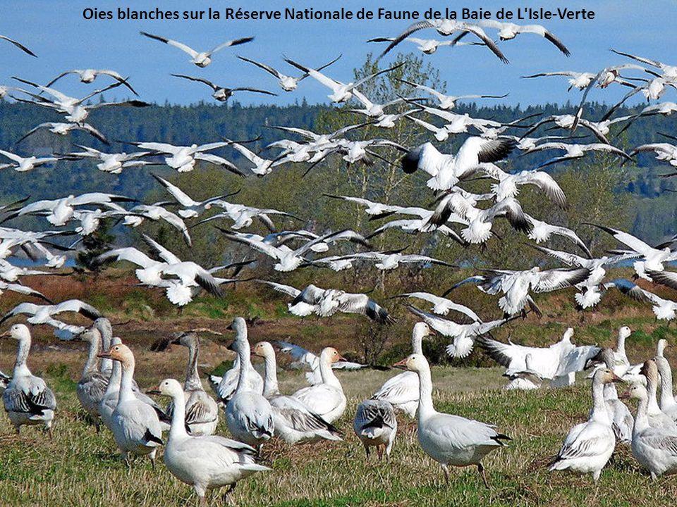 Oies blanches sur la Réserve Nationale de Faune de la Baie de L Isle-Verte