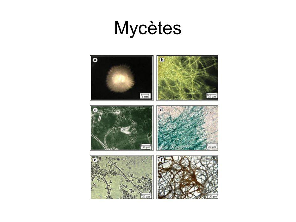 Mycètes