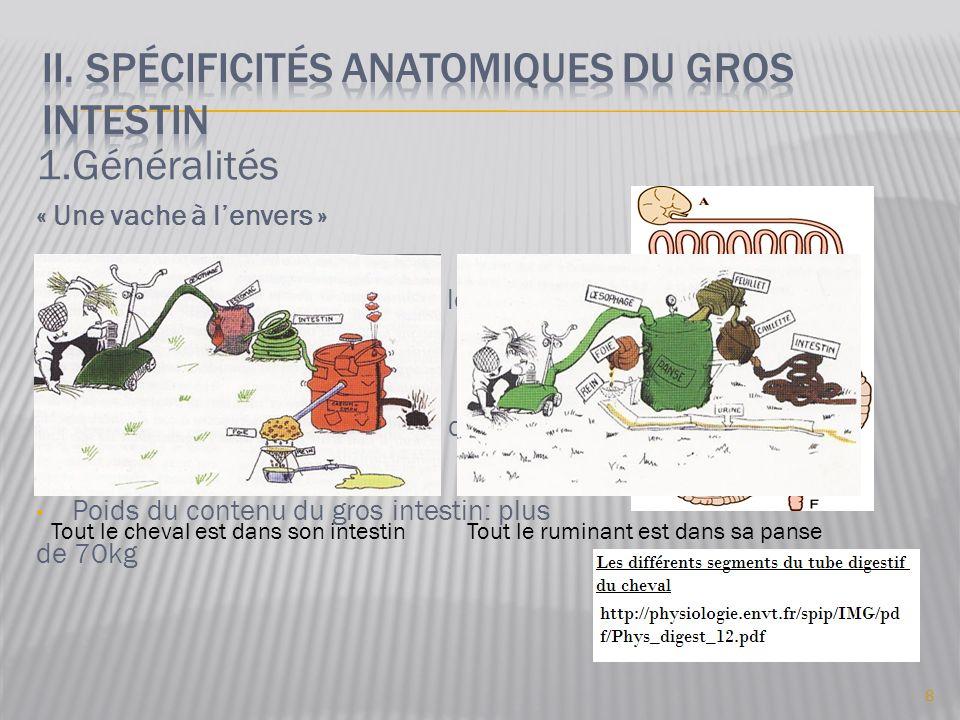 II. Spécificités anatomiques du gros intestin