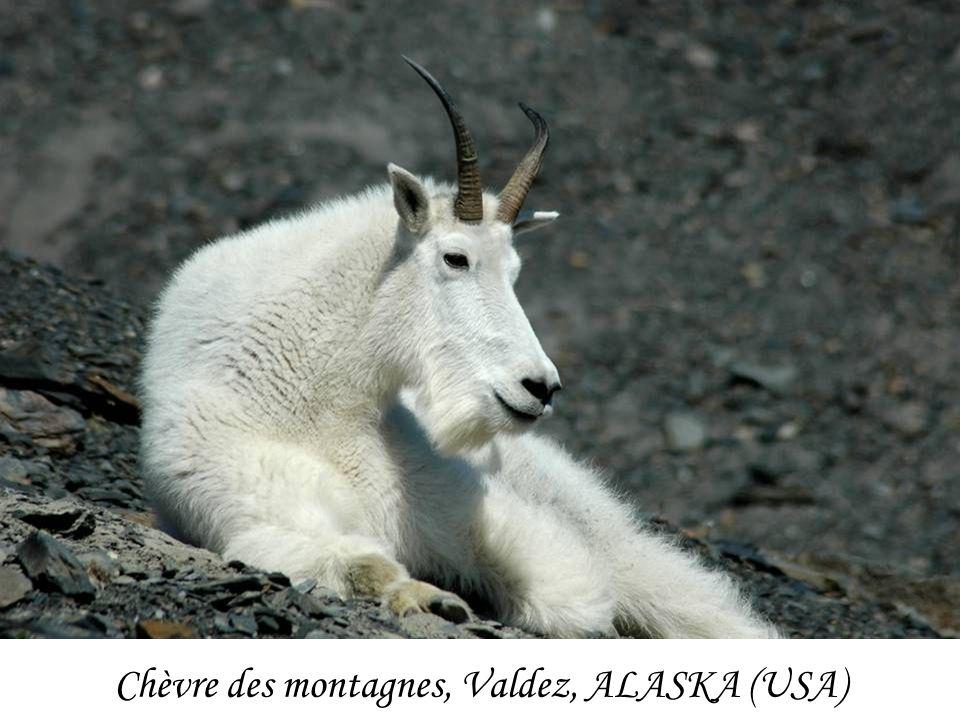 Chèvre des montagnes, Valdez, ALASKA (USA)