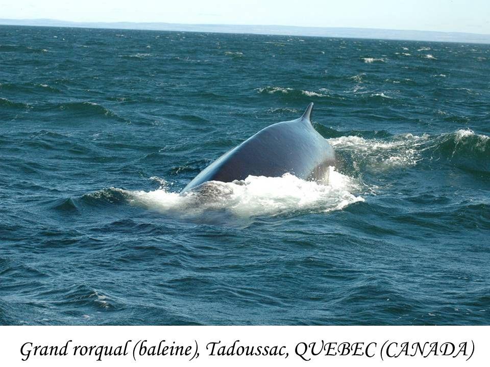 Grand rorqual (baleine), Tadoussac, QUEBEC (CANADA)