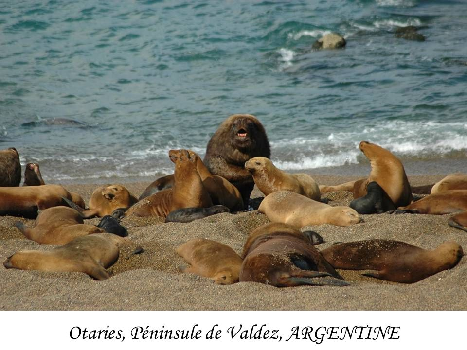 Otaries, Péninsule de Valdez, ARGENTINE