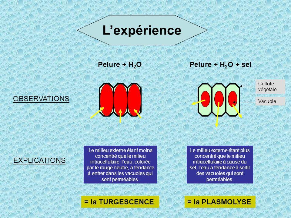 L'expérience Pelure + H2O Pelure + H2O + sel OBSERVATIONS EXPLICATIONS